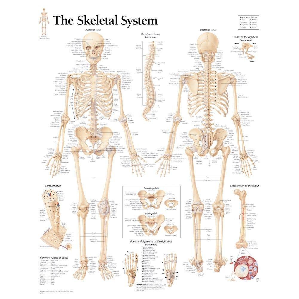 Human Skeleton Model with Skeletal System Chart