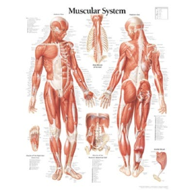 """Anatomical Chart 22"""" x 28"""" - Muscular System"""