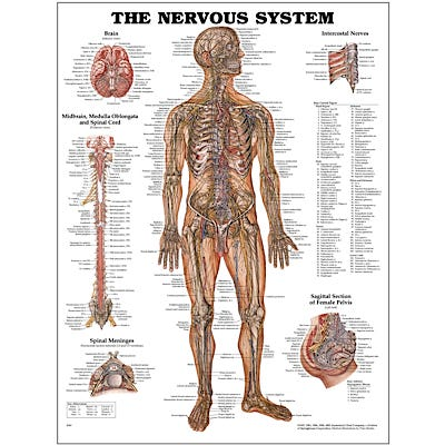 "Anatomical Chart 22"" x 28"" - Nervous System"