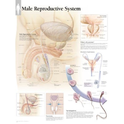 """Anatomical Chart 22"""" x 28""""  - Male Reproductive System"""