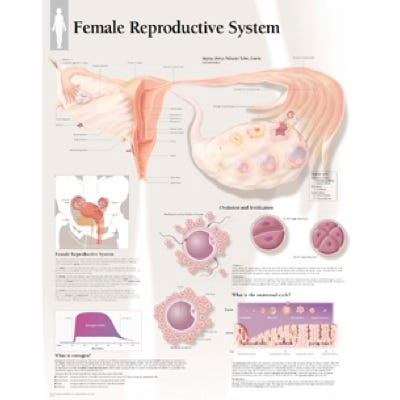 """Anatomical Chart 22"""" x 28""""  - Female Reproductive System"""
