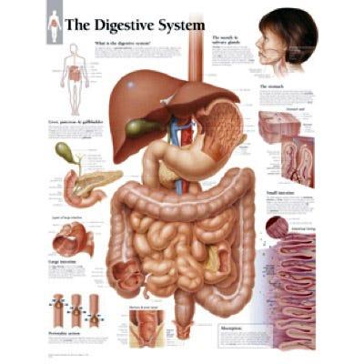 "Anatomical Chart 22"" x 28"" - Digestive System"