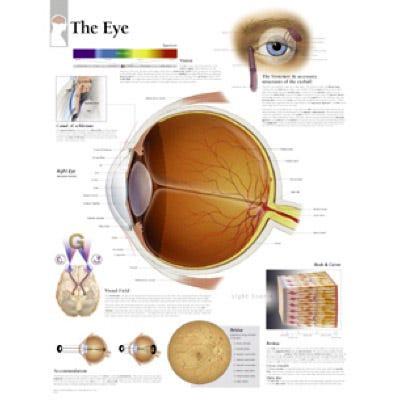 "Anatomical Chart 22"" x 28"" - Eye"