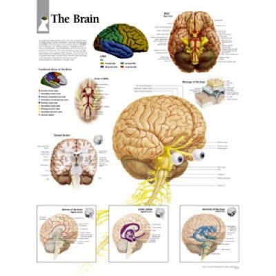 "Anatomical Chart 22"" x 28"" - Brain"
