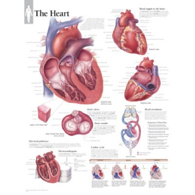 "Anatomical Chart 22"" x 28"" - Heart"