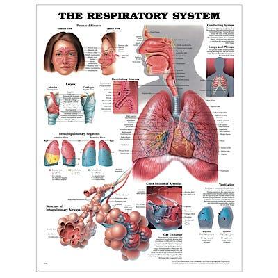 """Anatomical Chart 22"""" x 28"""" - Respiratory System"""