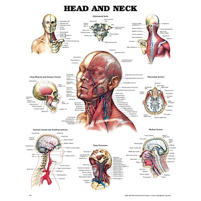 """Anatomical Chart 20"""" x 26"""" - Head and Neck"""