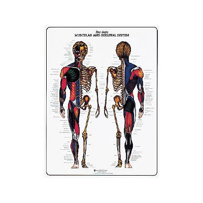 Muscular and Skeletal System Charts