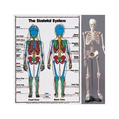 Mini-Skeleton Model and Chart Set