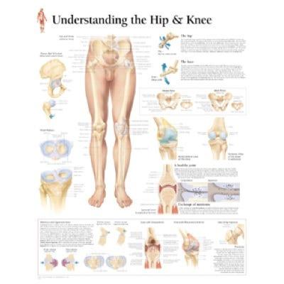 "Anatomical Chart 22"" x 28"" - Hip and Knee"