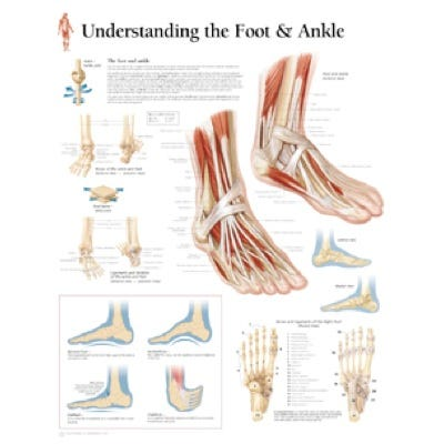 """Anatomical Chart 22"""" x 28"""" - Foot and Ankle"""