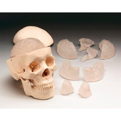 Budget Skull with Eight-Part Brain
